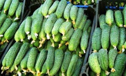 Огурцы в теплице из поликарбоната: как правильно вырастить? сроки посадки, уход и урожайность овоща