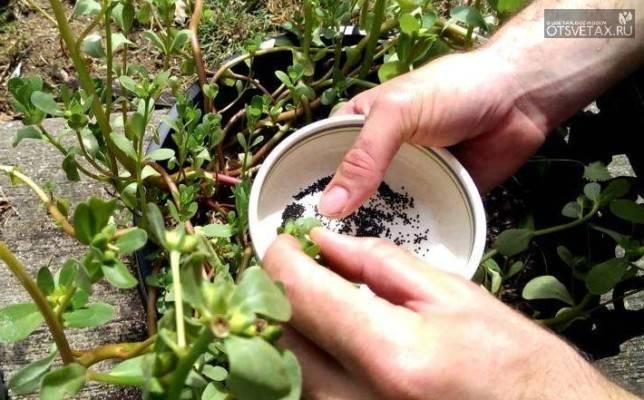Портулак - посадка и уход в открытом грунте, особенности выращивания