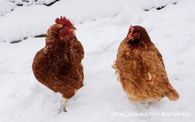 Антибиотики для кур