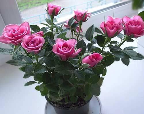 Комнатная роза – уход в домашних условиях, подготовка грунта, правила полива и подкормки, борьба с болезнями