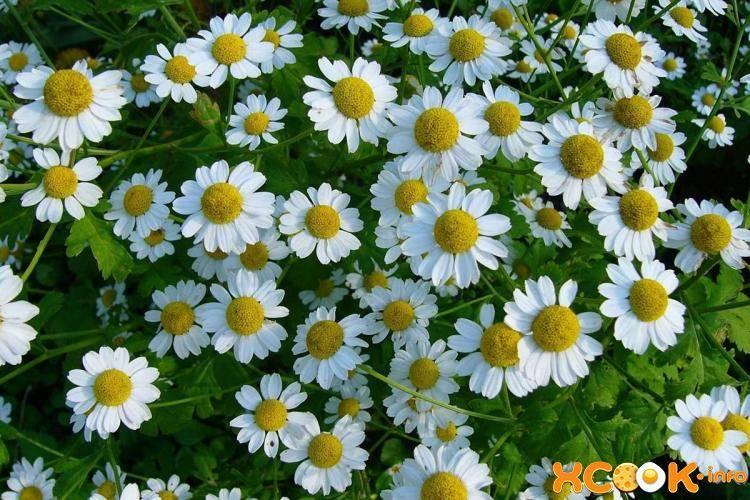 Цветок как ромашка: эхинацея, нивяник, маргаритка, космея, гацания
