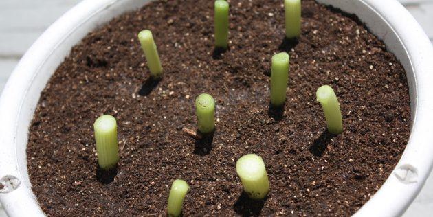 О высаживании лука севка дома: как посадить лук в бутылке на зелень дома