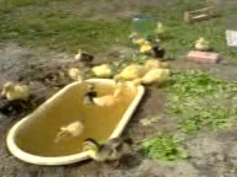 Учимся выращивать и ухаживать за гусятами дома - общая информация - 2020