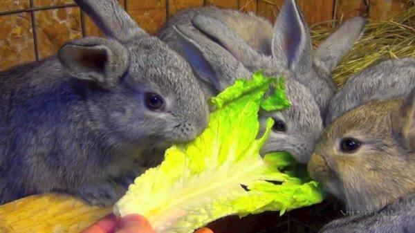 Меню крольчат: чем кормить в разном возрасте?