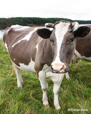 Характеристика холмогорской породы коров