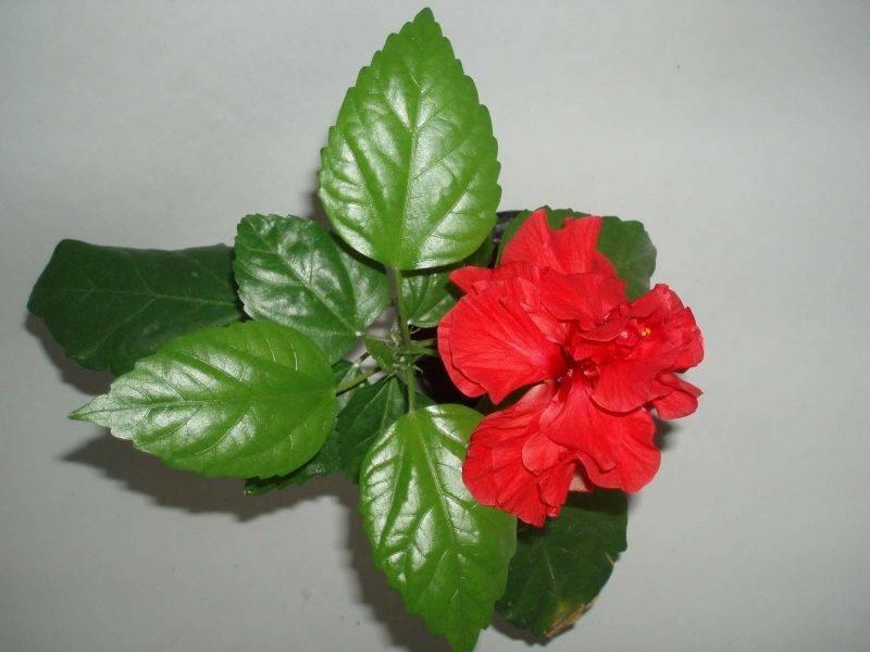 Китайская роза — уход в домашних условиях и размножение