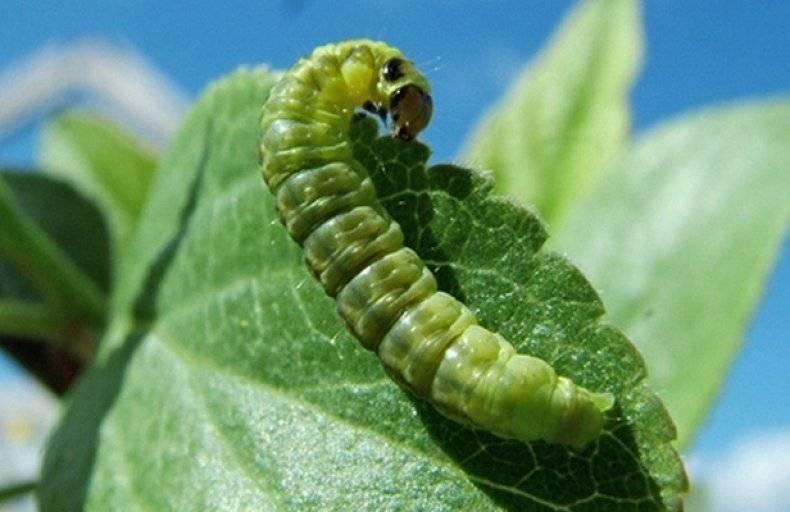 Как бороться с гусеницами на смородине: 3 народных способа и 5 самых эффективных химических препарата