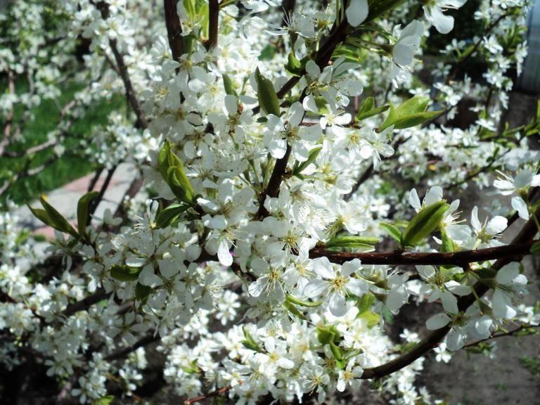 Периоды вегетации и покоя у плодовых и ягодных