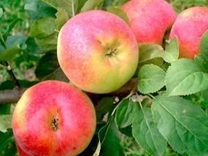 Яблоня краса свердловска