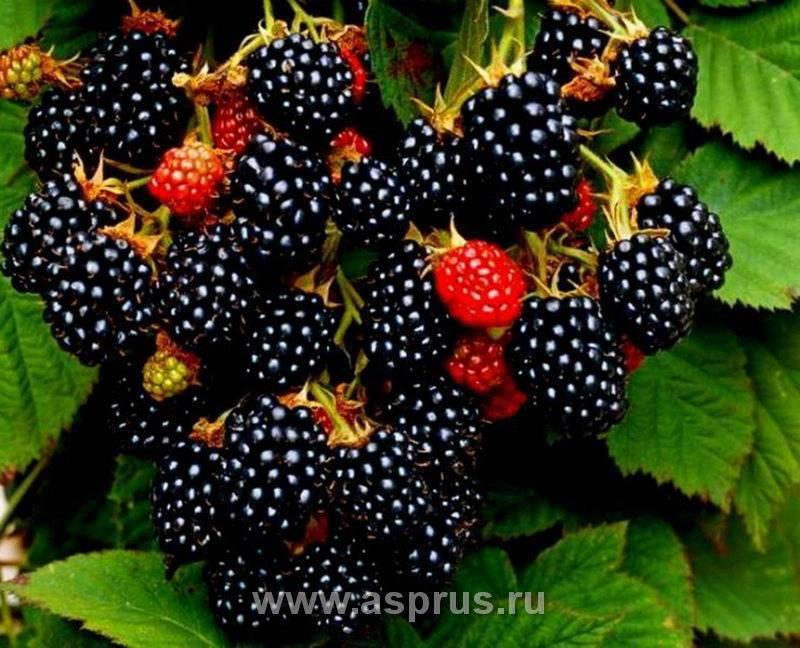 Как выглядит чёрная малина, виды, особенности выращивания, урожайность