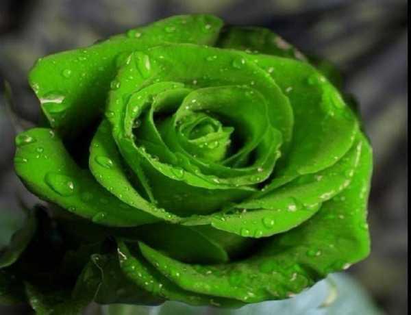 Зеленые розы (36 фото): виды и сорта, особенности растений бело-зеленого, розово-зеленого и желто-зеленого цветов, описание сорта «зеленый чай» и других