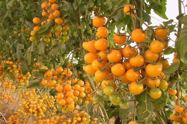 Отечественный гибрид томата «финик красный f1»: фото, отзывы, описание, характеристика, урожайность