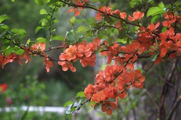 Как посадить японскую айву: правила и рекомендации