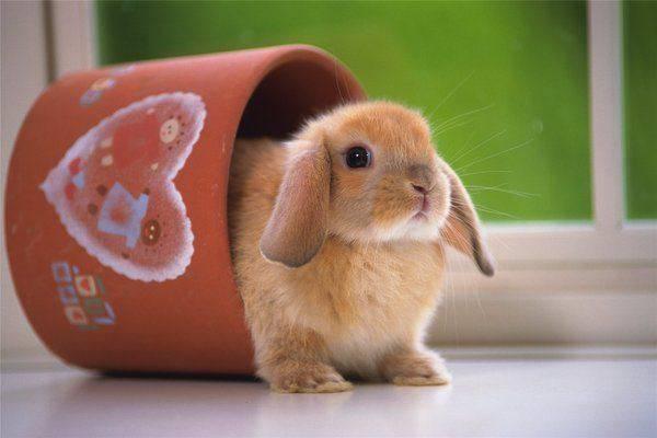 Декоративные кролики – содержание, уход, питание в домашних условиях