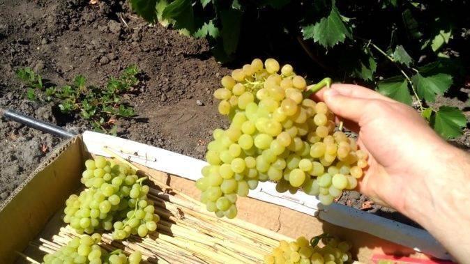 Всё о винограде кишмиш: описание, сорта, посадка и выращивание