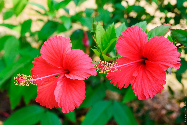 Польза и вред чая каркаде или суданской розы