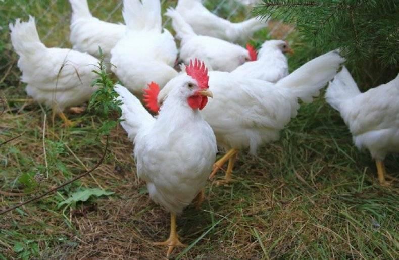 Минимясная порода кур