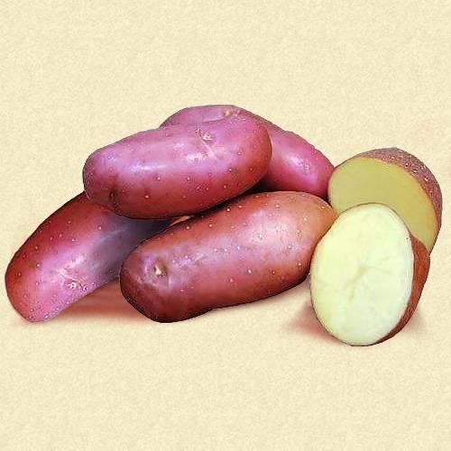 Сорт картофеля «каратоп»: характеристика, описание, урожайность, отзывы и фото