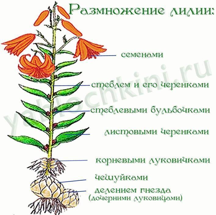 Как посадить и ухаживать за лилиями в саду