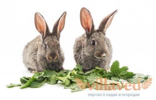 Как определить и лечить кокцидиоз у кроликов