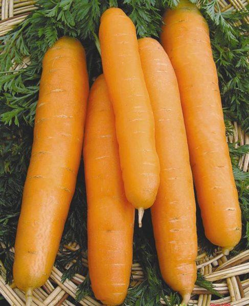 Лучшие сорта моркови для сибири с описанием и фото