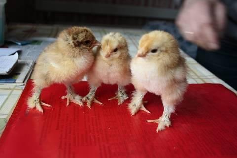 Чем пропоить цыплят в первые дни жизни в домашних условиях