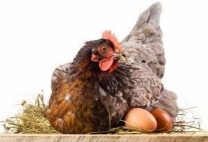 Почему не несутся куры? причины падения яйценоскости у куриц-несушек