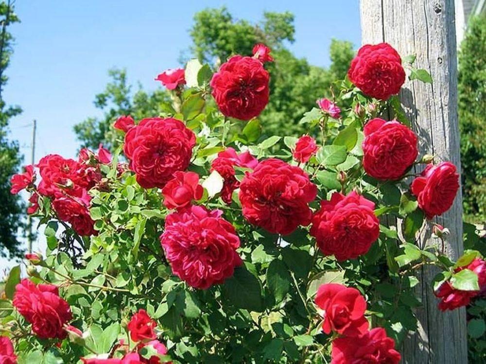 Какие розы самые устойчивые к морозу и холоду: канадская селекция   о розе