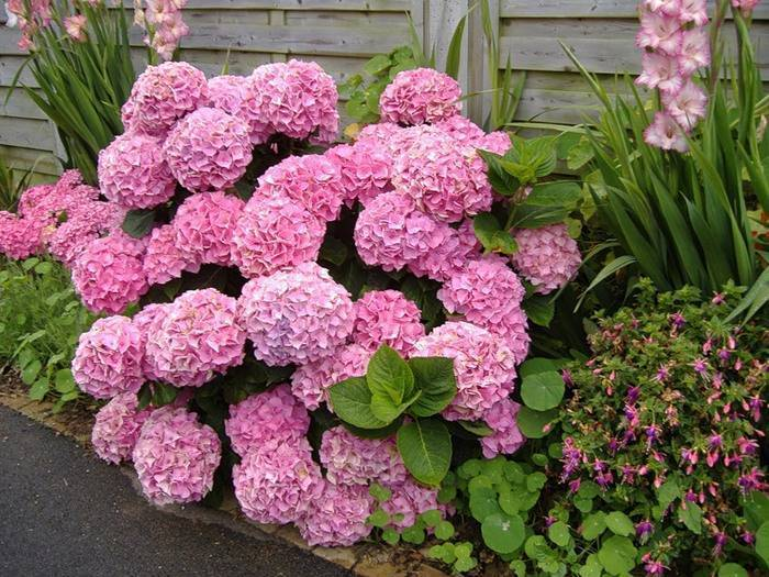 Садовая гортензия (82 фото): посадка и уход за цветами в открытом грунте. как она размножается? выбираем удобрения