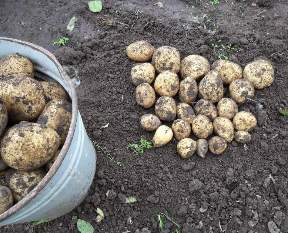 Посадка картофеля на дачном участке: как не копать и не окучивать?