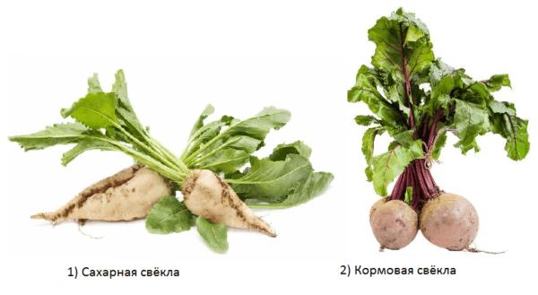 Кормовая свекла: характеристика и выращивание