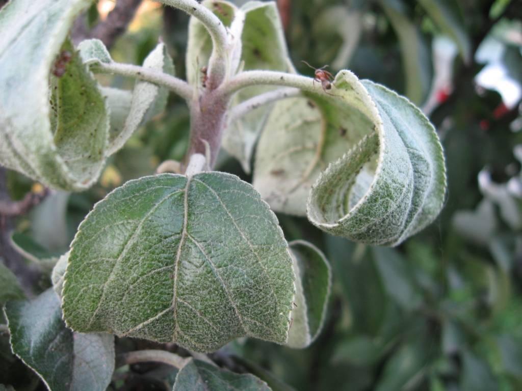 Если у вас тля на яблоне: как бороться, чтобы не потерять урожай
