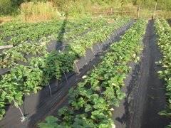 Посадка клубники на агроволокно осенью. как садить?