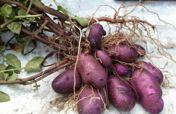 Картофель рамос