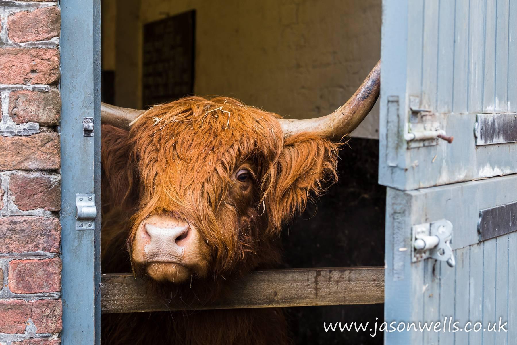 Мясные породы коров