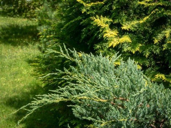 Туя еллоу риббон — как вырастить эффектное растение