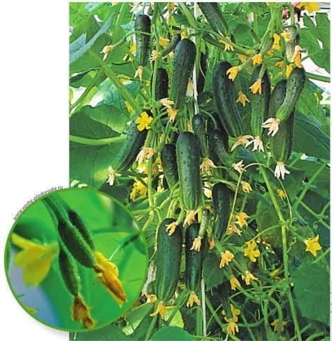 Сорта огурцов для открытого грунта