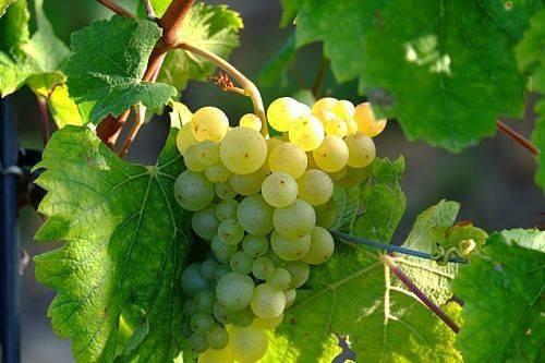 Технологии укоренения черенков винограда