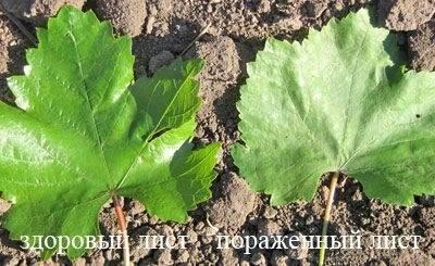 Оидиум винограда: предупреждаем, распознаем, лечим