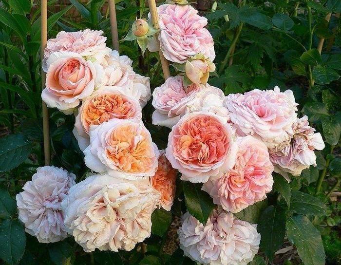 Полуплетистая роза чиппендейл: очарование и нежность в ярко-оранжевых тонах
