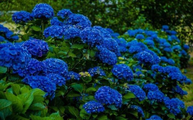 Как сделать гортензию голубой или синей?