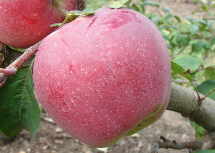 Яблоня «глостер»: особенности выращивания