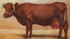 Болезни копыт у коров и их лечение