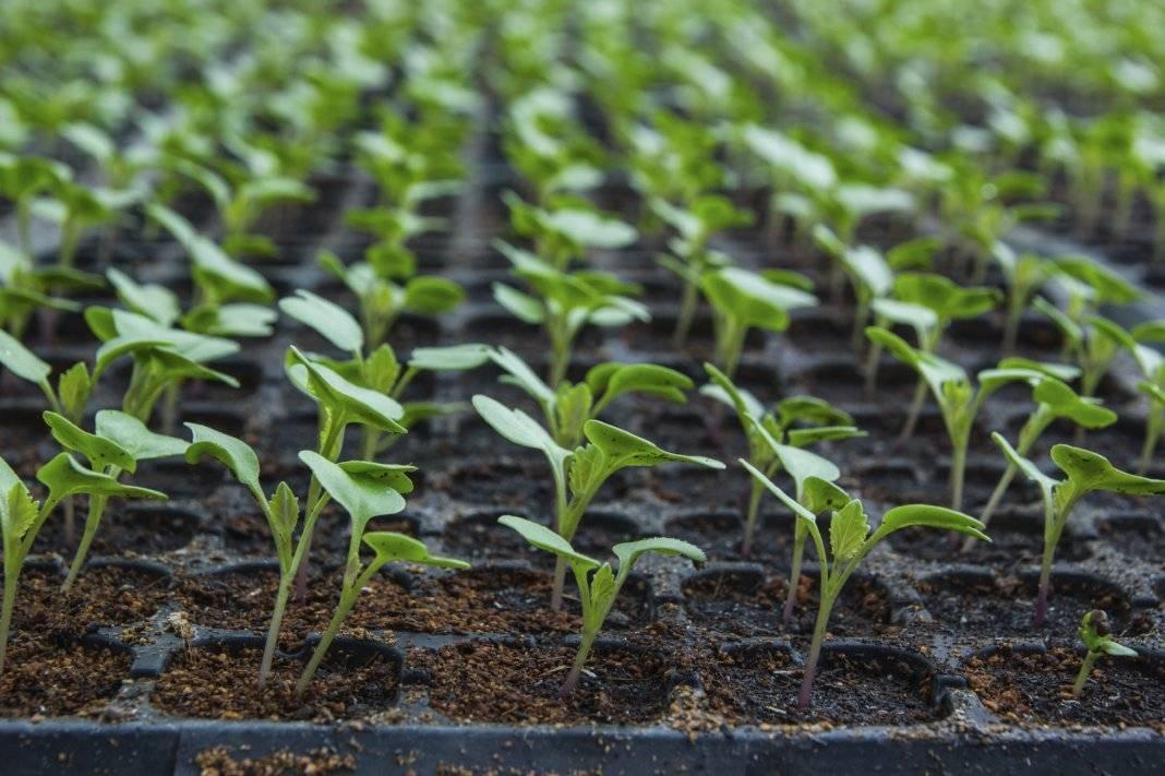 Важно знать огородникам: когда всходят помидоры после посева, от чего это зависит и как решить возможные проблемы?