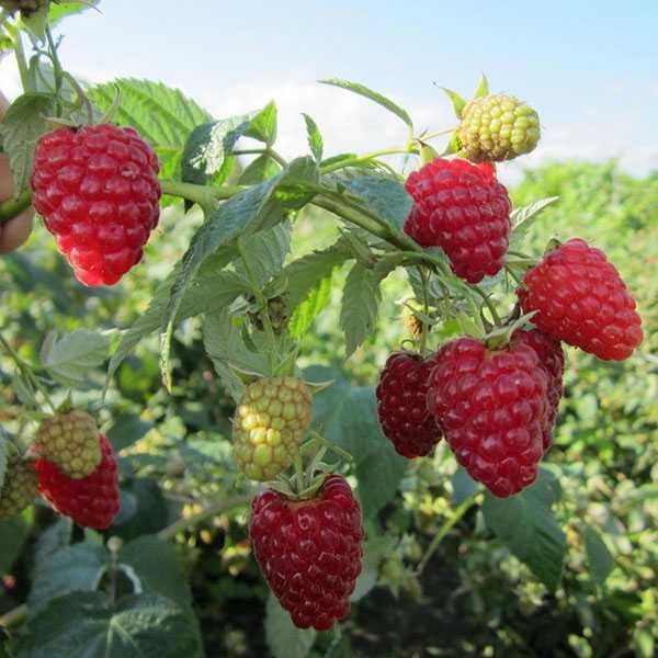 Сладкая ягода малина до заморозков - ремонтантная малина