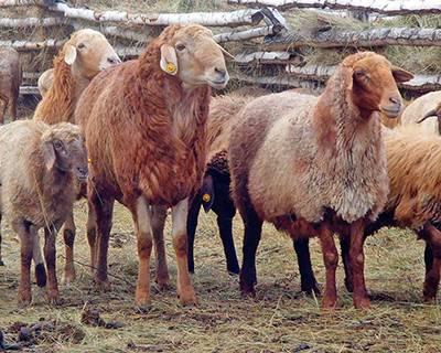 Овца куйбышевской породы: описание, характеристики, отзывы. разведение овец