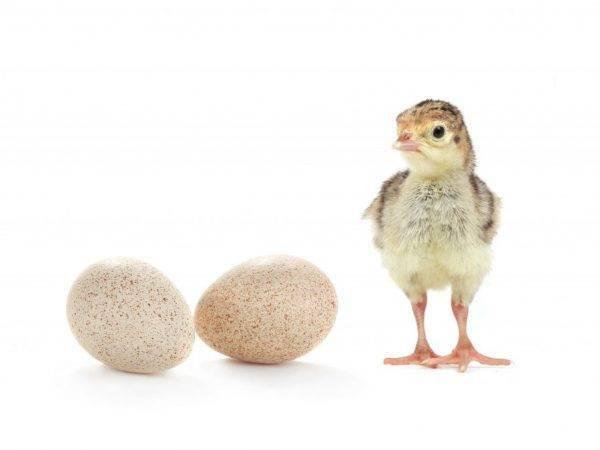 Все про яйца индюшки: сколько несет, как посадить, как несутся