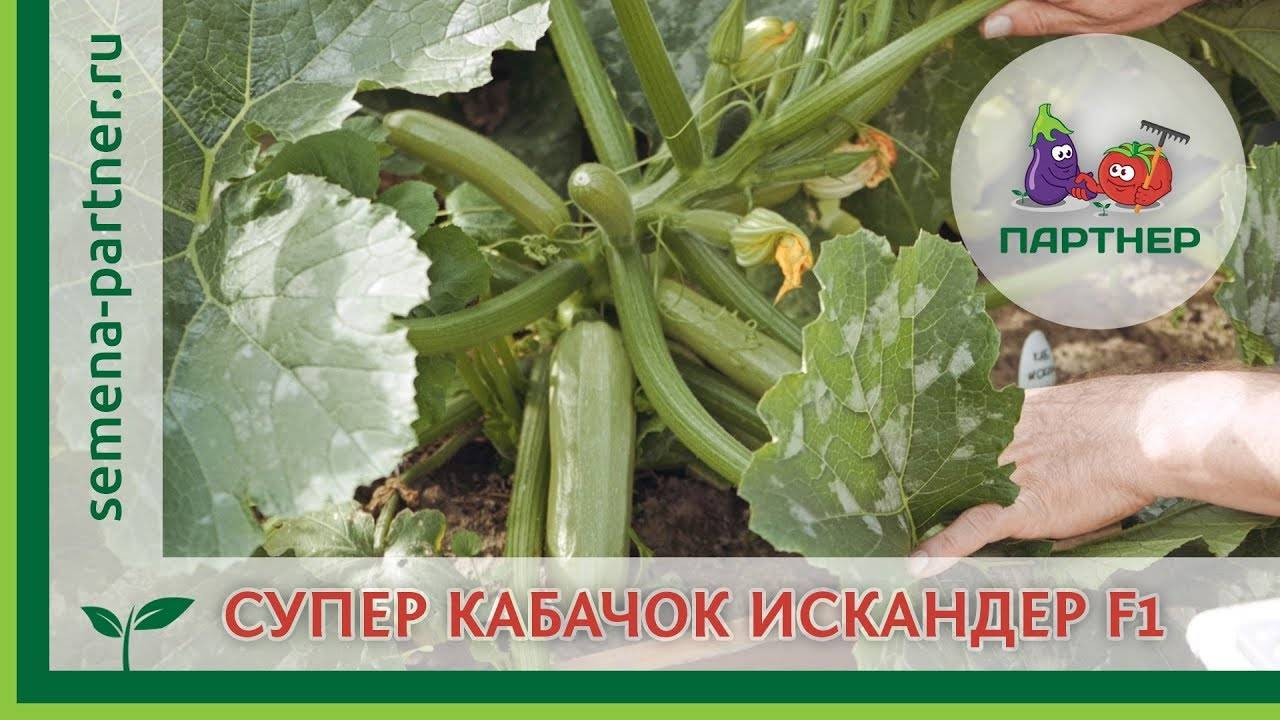 Первый огород для ребенка. как вырастить кабачок