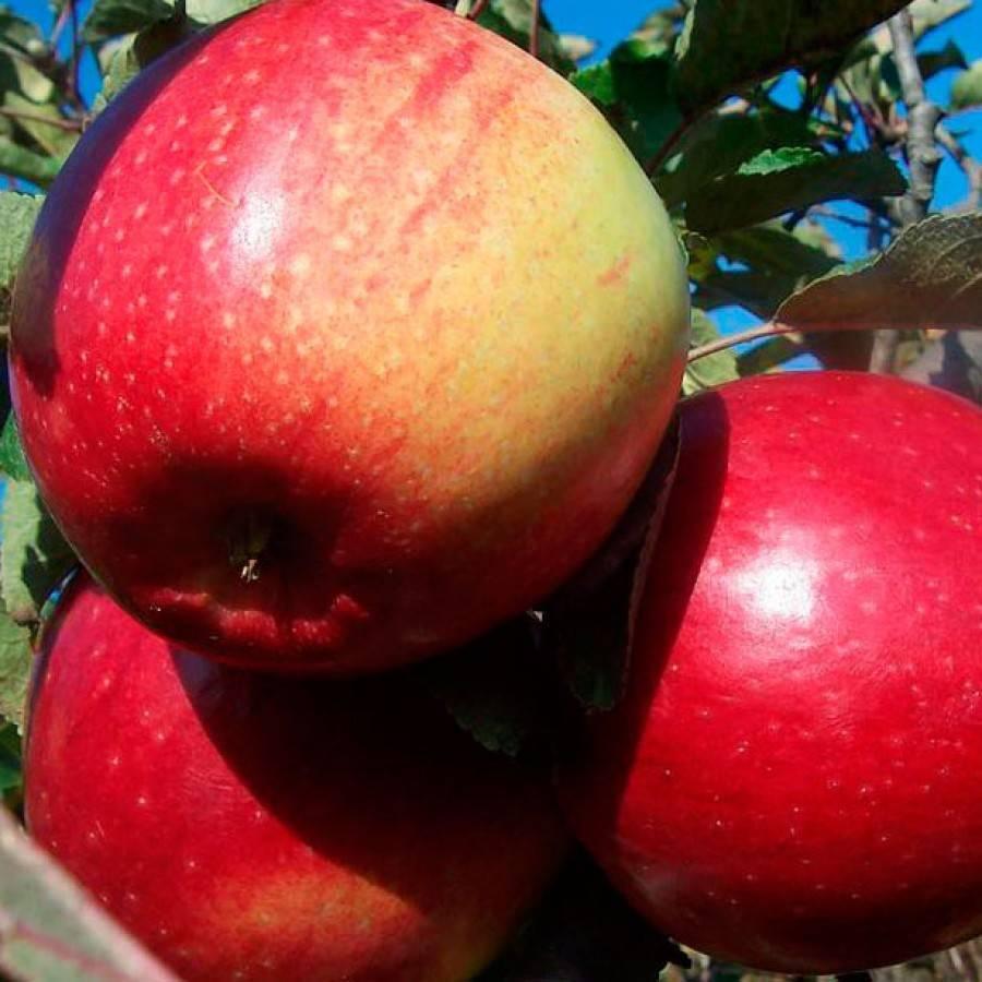 Яблоня лигол: описание и правила выращивания морозостойкого сорта