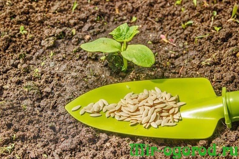 Как подготовить семена базилика перед посадкой и зачем это делать? нужно ли зерна прогревать и замачивать?